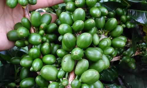 Intensifikasi perkebunan kopi sada Coffee