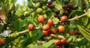 Liberica vs Excelsa Coffee