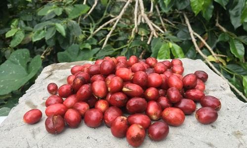 Organic Coffee, Apa Syaratnya?