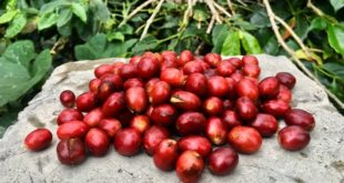 Sada Coffee Farm
