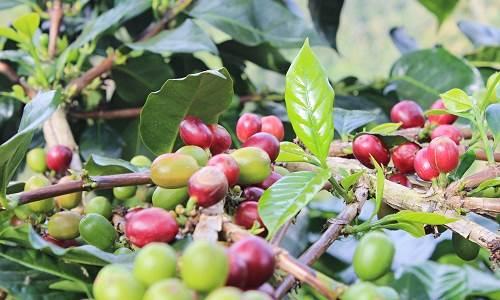 Agrowisata Kopi