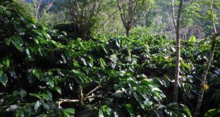 Fungsi Tanaman Penutup Tanah pada Kopi