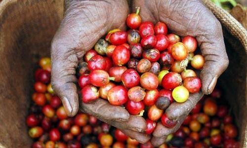 Fakta Tradisi Konsumsi Kopi di Kenya