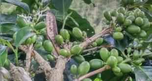 Rejuvenasi Kopi, Upaya Peremajaan Pohon Kopi